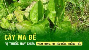 Cây mã đề - bài thuốc quý của dân gian mọc ở khắp làng quê Việt Nam